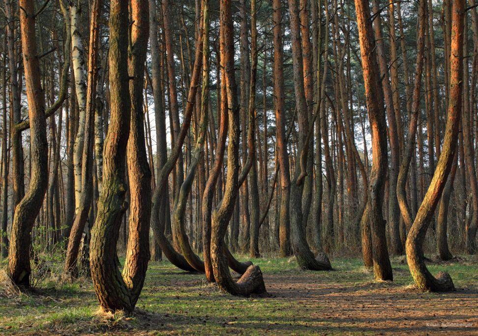 Krummer Wald Krzywy Las Crooked Forest Deutschland Polen Polen Masuren