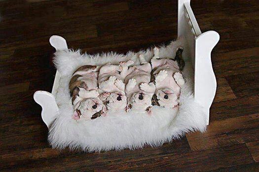 Precious Bully dog, Cute animals, Cute dogs