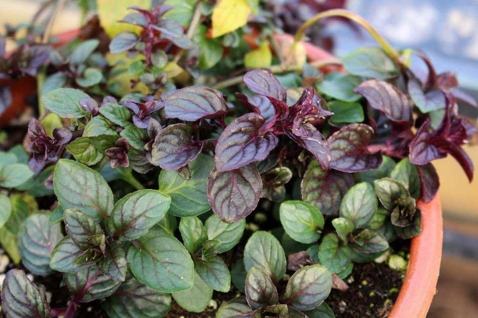 Chocolate mint peppermint grows in a pot, where it can be contained from taking over the garden.