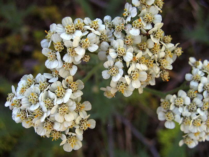 Yarrow Herb Health Benefits And Side Effects Yarrow Flower Edible Plants Medicinal Plants