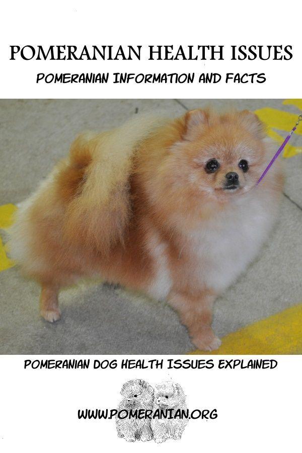 Pomeranian Health issues explained pomeranian