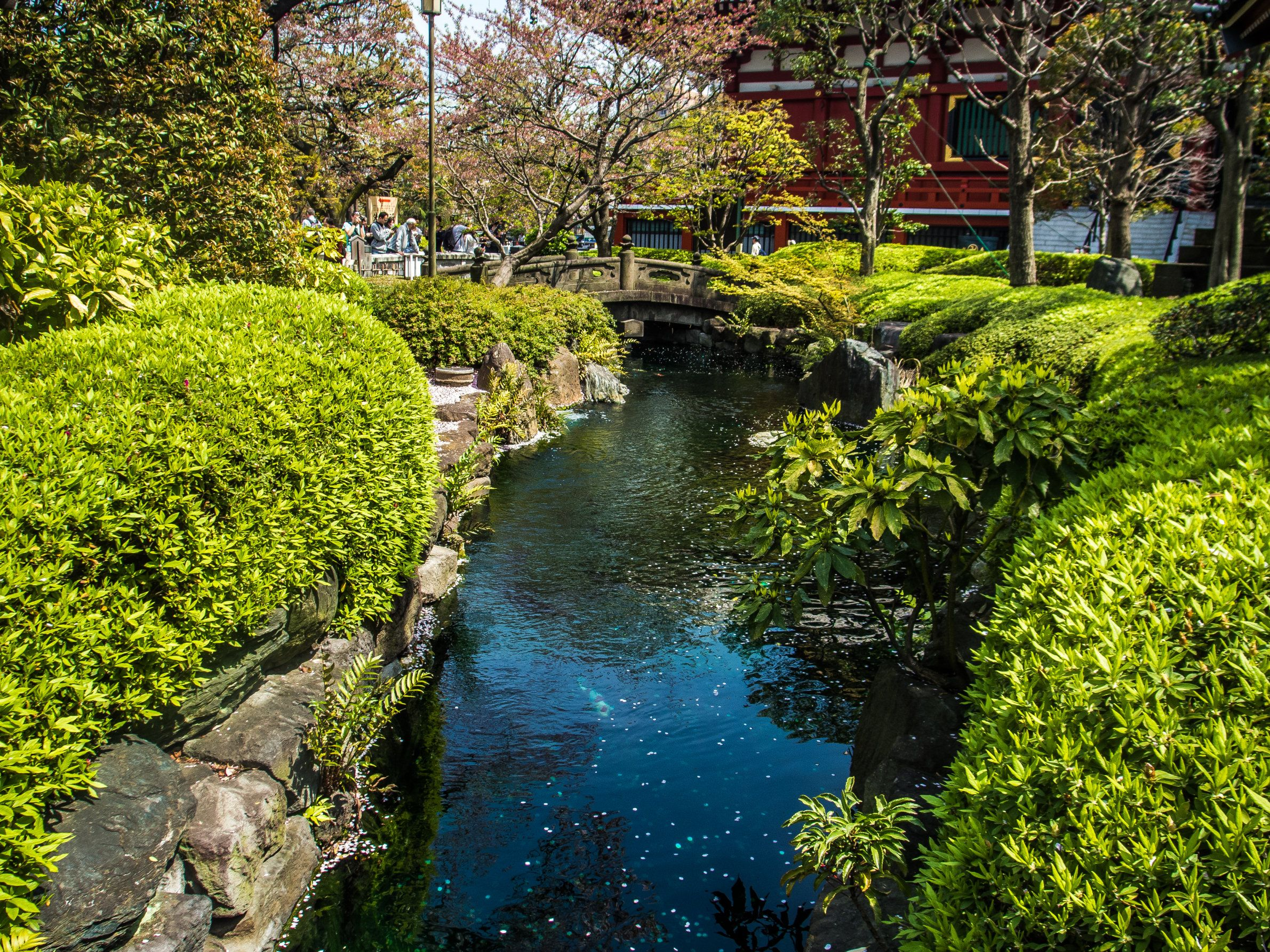 Cherry blossom petals have started to fall in the brook running through the small park of Yakushido Hall, one of the temples dotting Sensoji Temple's grounds, Asakusa's main attraction. (Sensoji's side is visible in the back.) #Asakusa, #Sensoji, #Yakushido, #brook, #cherry, #blossom April 9, 2016 © Grigoris A. Miliaresis