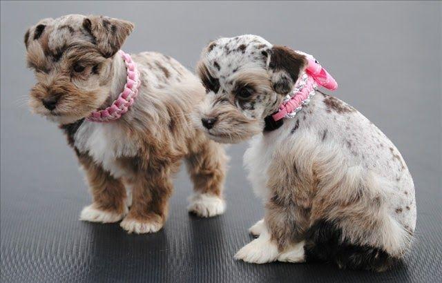 Litter Size Of Miniature Schnauzer Click The Picture To Read Schnauzer Puppy Miniature Schnauzer Puppies Schnauzer