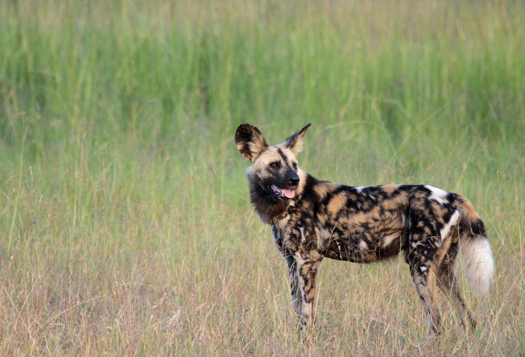 African wild dog, stunning markings, by Simiangrunt.