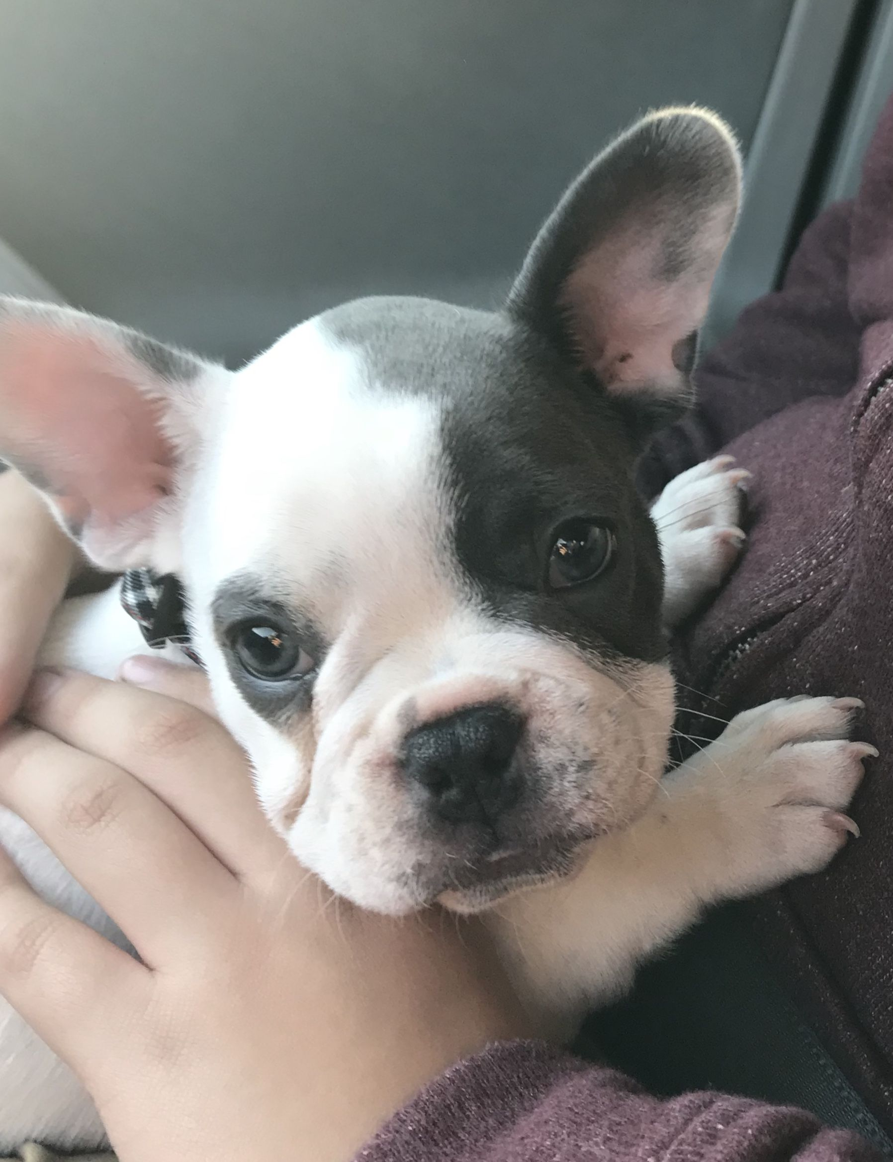 French Bulldog Puppy On That First Car Ride To Their Forever Home