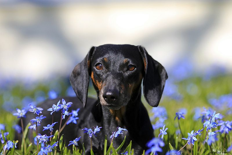 Oh Spring Dachshund In Flowers With Images Dachshund Love