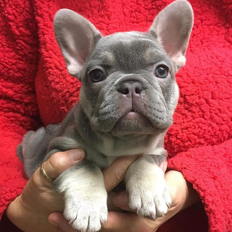 The French Bulldog Is So Famous, But Why Cute baby