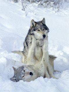 Lobos jugando en Laponia