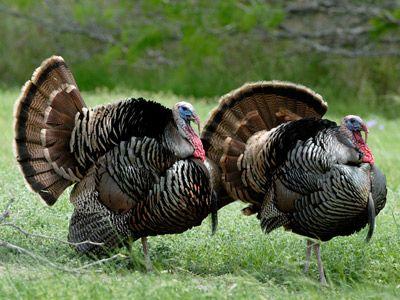 Pin On Backyard Turkeys