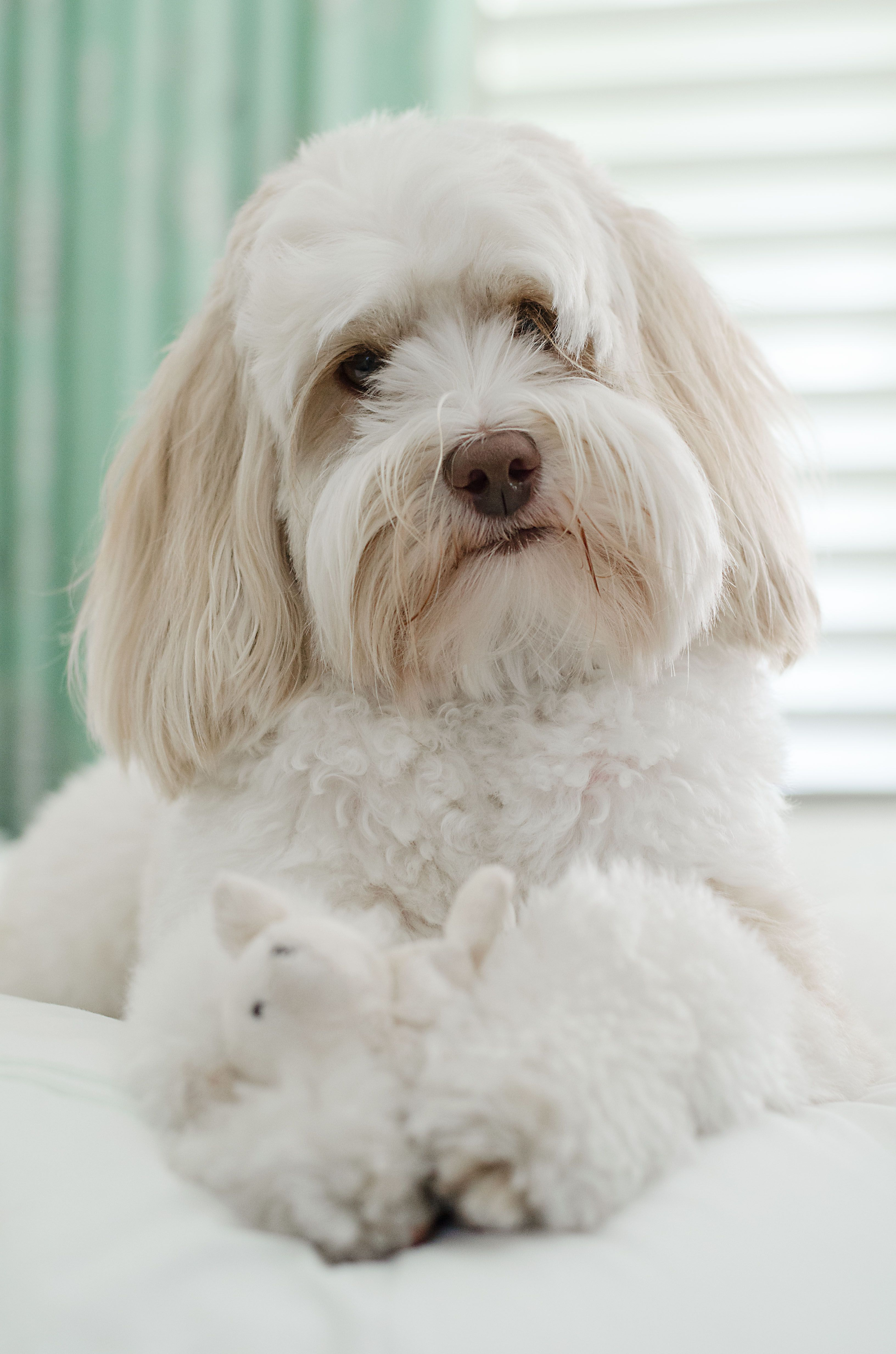 Mini Australian Labradoodle dog on bed with toy. Pet