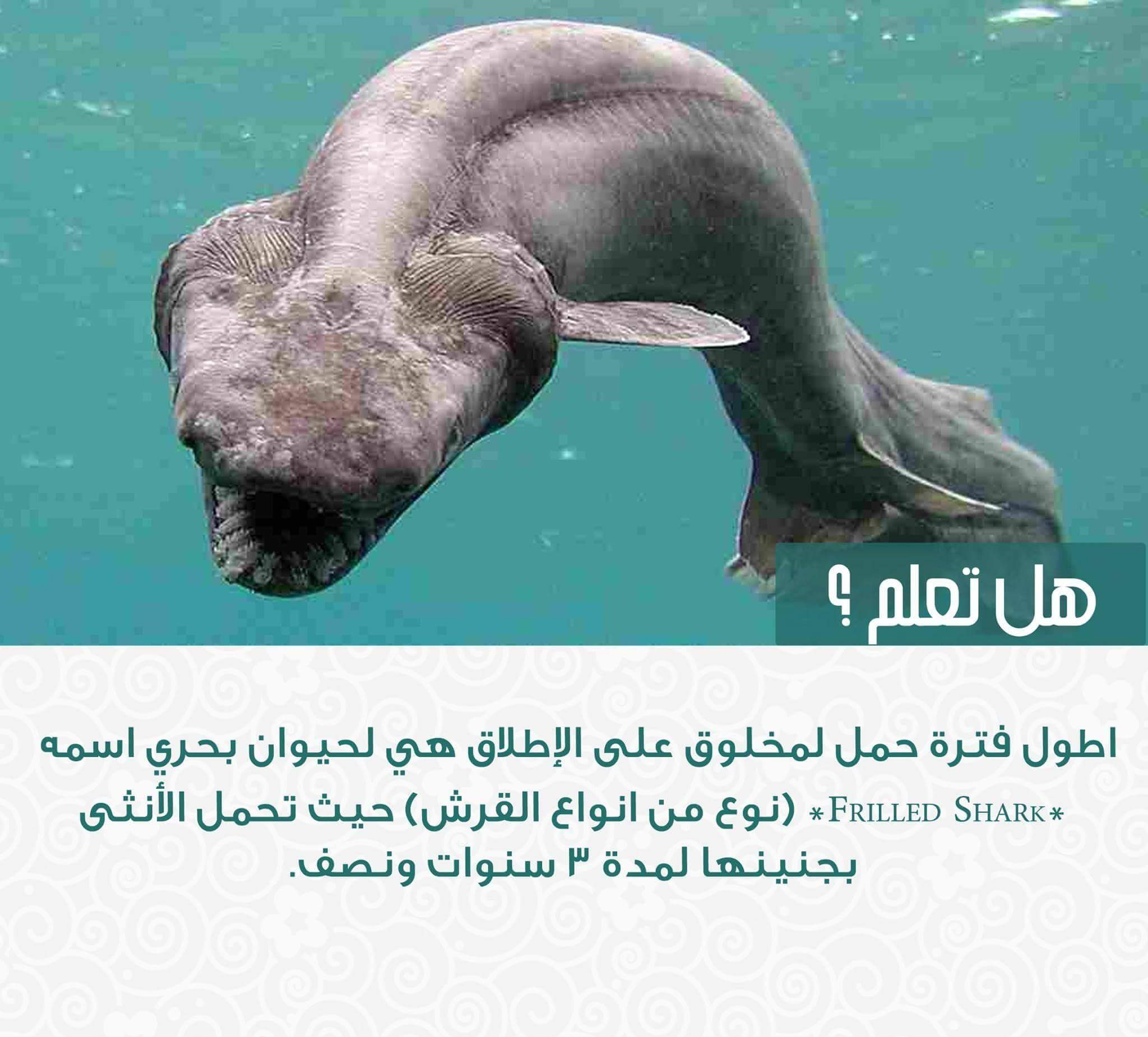 هل تعلم معلومات Frilled Shark Shark Dinosaur Era
