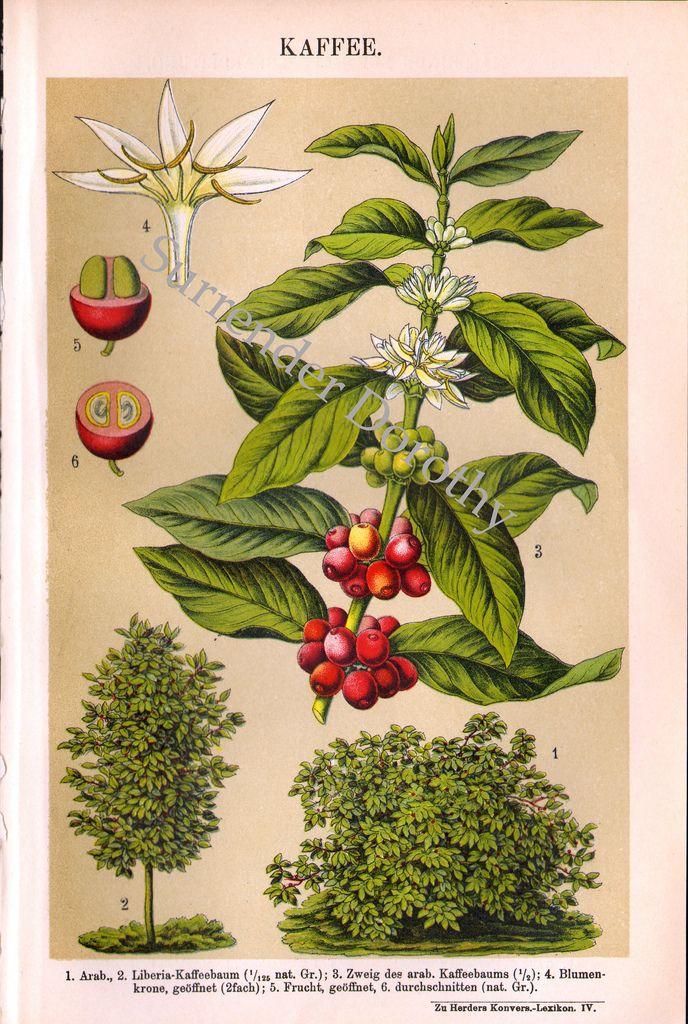 Coffee Plant 1906 Chromolithograph Www Buffalobuckscoffee Com