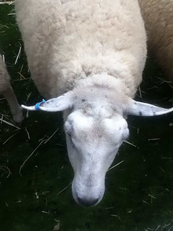 Sheep/Rams located outside NGV