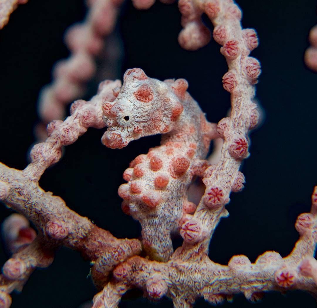 #pygmy #seahorse #divers #diving #scubadiving#underwaterphotography #divingaustralia #greatbarrierreef #spiritoffreedom #macro#g7x #recsea #cairns by 58sota http://ift.tt/1UokkV2