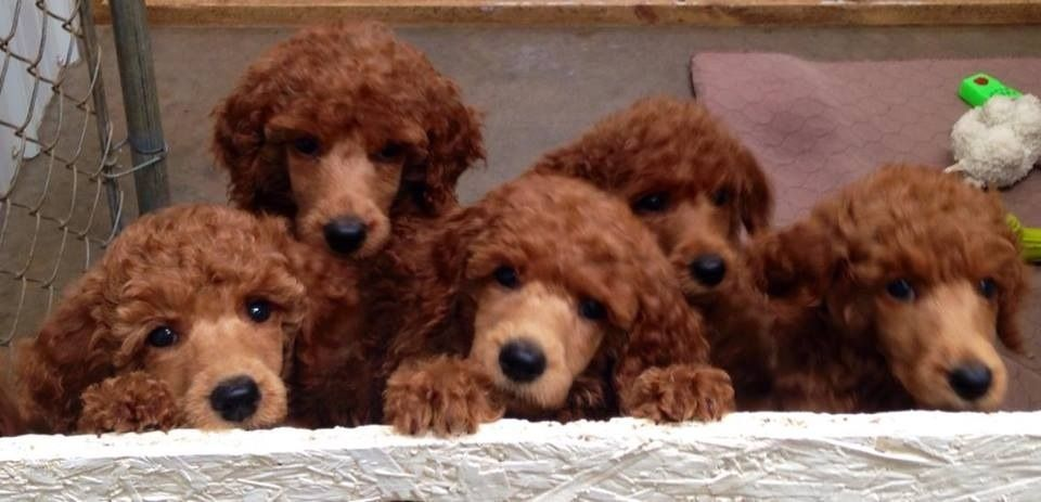 Spoodiful Poodle Puppies Poodle Puppy Black Puppy Puppies