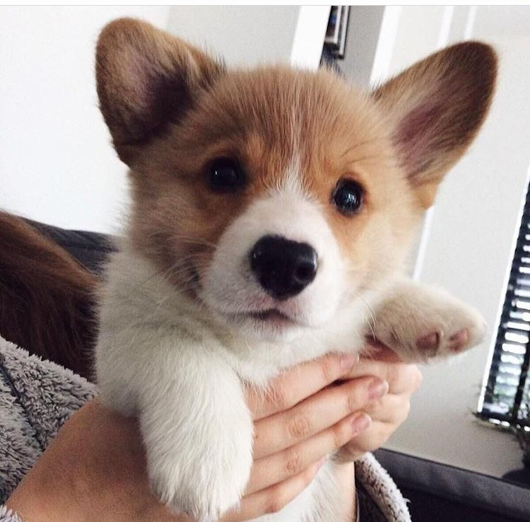 You Should Never Adopt A Corgi Here Are 20 Definitive Reasons Why Cute Baby Animals Cute Corgi Puppy Cute Corgi