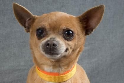 Adopt Sabrina A Lovely 6 Years 3 Months Dog Available For Adoption At Petango Com Sabrina Is A Chihuahua Short Dog Adoption Pets