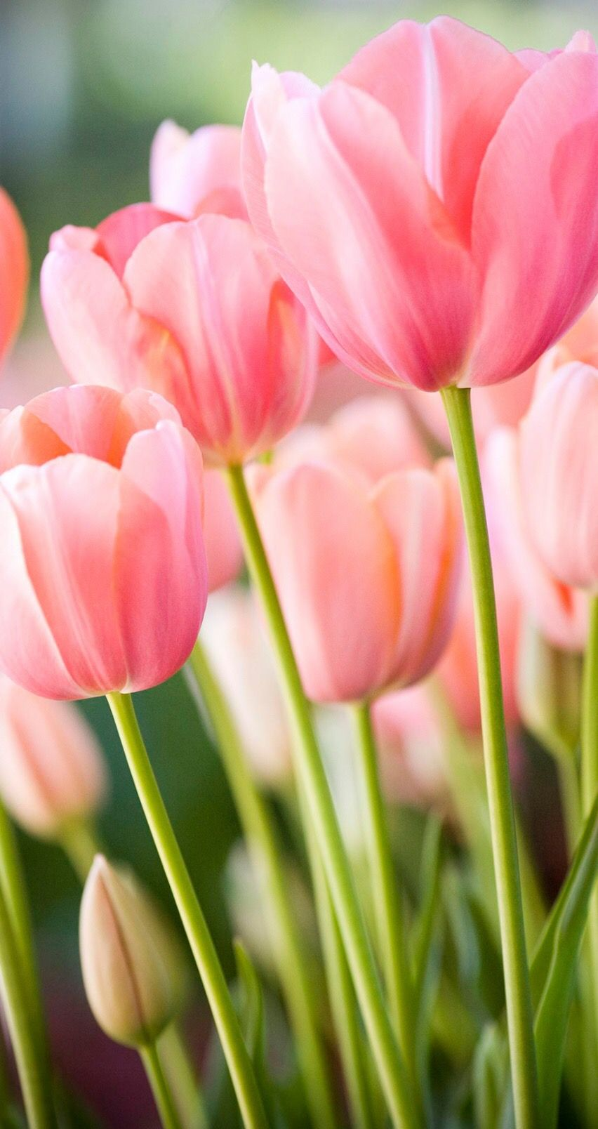 Pin by Ketsairy on Iphone Wallpapers Tulip bouquet