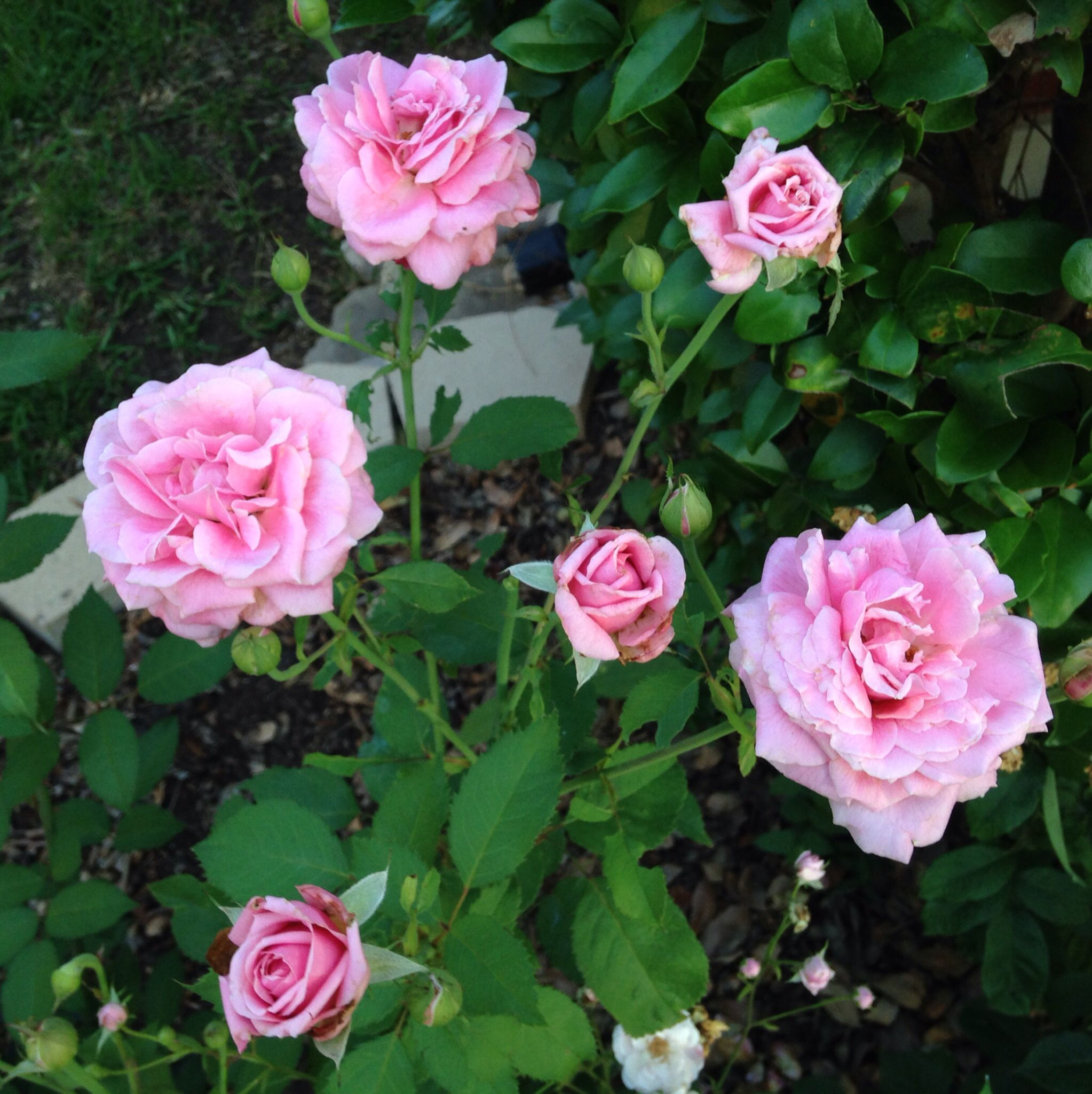 "2014 - Some ""Belinda's Dream"" pink roses in my front yard."