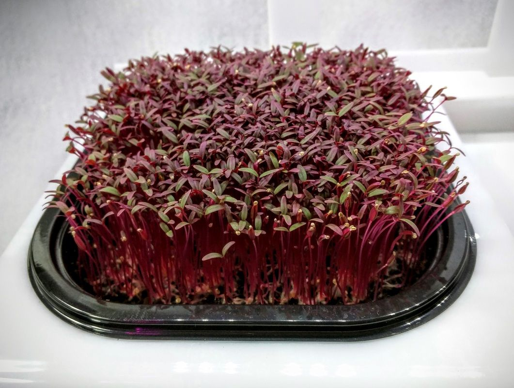 Growing microgreens is easy, right? It depends on your