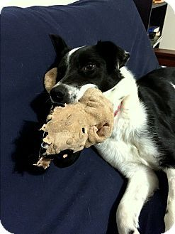Davis In Yolo County Ca Border Collie Mix Meet Snoopy A Dog For Adoption Http Www Adoptapet Com Pet 14922761 Corning Dog Adoption Collie Border Collie