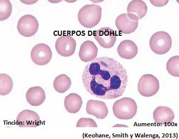 que son neutrofilos segmentados