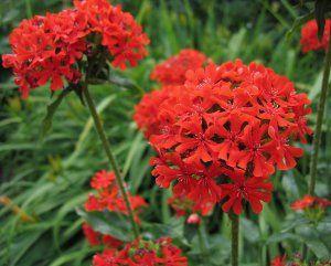 Maltese Cross Flower seeds, Unusual flowers, Rare flowers