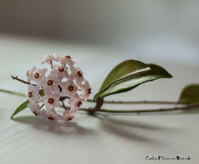 FOTOS SIN PORQUE: Fotos: Flores. #Flores,#Flor de Clepia,#Fotos,#Fotografías,#Photos,#photography