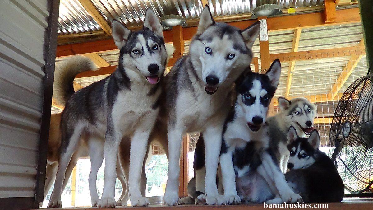 Husky Puppies Looking Scared Husky Puppy Husky Husky Puppies For Sale
