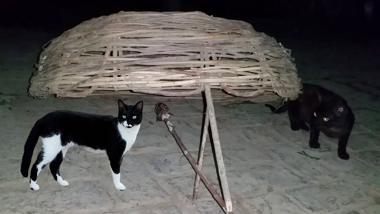 Cat Trapping How To Catch A Feral Cat Using Simple Box