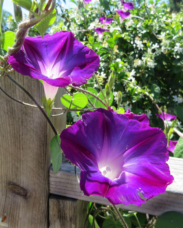 Morning Glory These Look Like Mine Jasmine Buteau Morning Glory Flowers Butterfly Garden Design Vegetable Garden Design