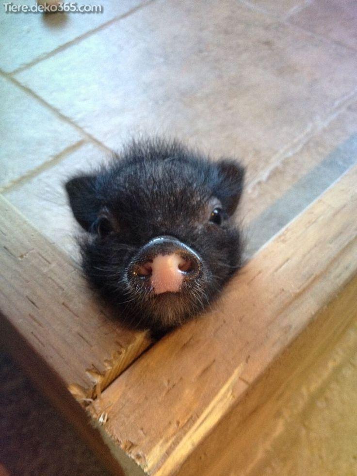 Großartige Ein süßes kleines Schwein #cutecreatures