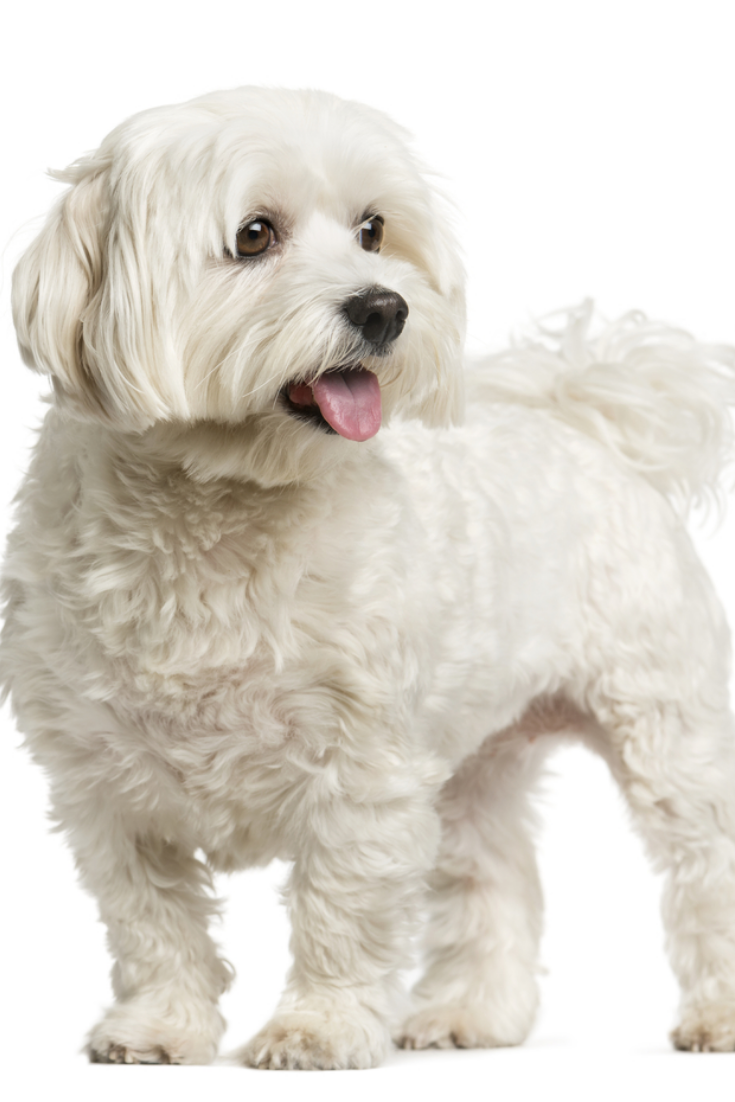 Maltese Standing In Front Of A White Backgroun Maltese Standing In Front Of A White Background