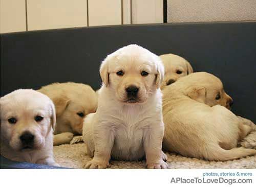Pin By Rachel Tucker On Ruthie Cute Lab Puppies Lab Puppies