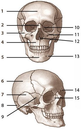 The Bones Of The Skull Dental Life Pinterest Anatomy School