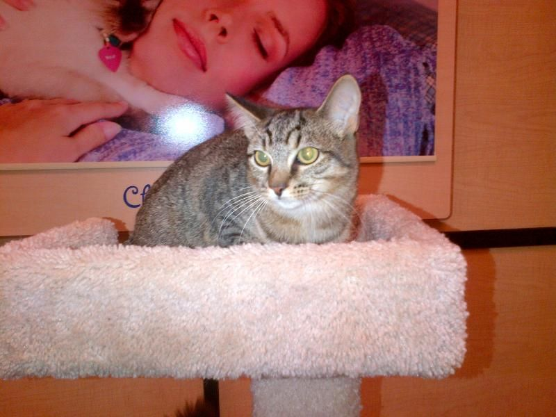 Meet Tiger Shadow A Petfinder Adoptable Domestic Short Hair Cat Richmond Hill On Tiger Is A Sweet And L Short Hair Cats Cute Animals Domestic Short Hair