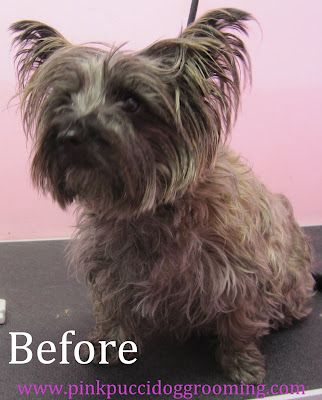 Lola The Cairn Terrier Dog Grooming Dog Grooming Styles Cairn