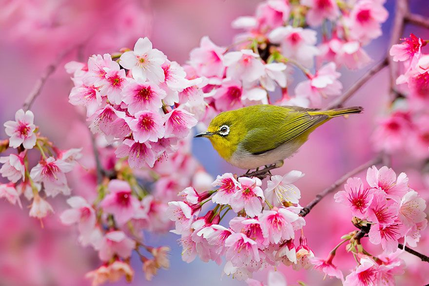 21 Of The Most Beautiful Japanese Cherry Blossom Photos Of 2014 Cherry Blossom Japan Cherry Blossom Season Cherry Blossom