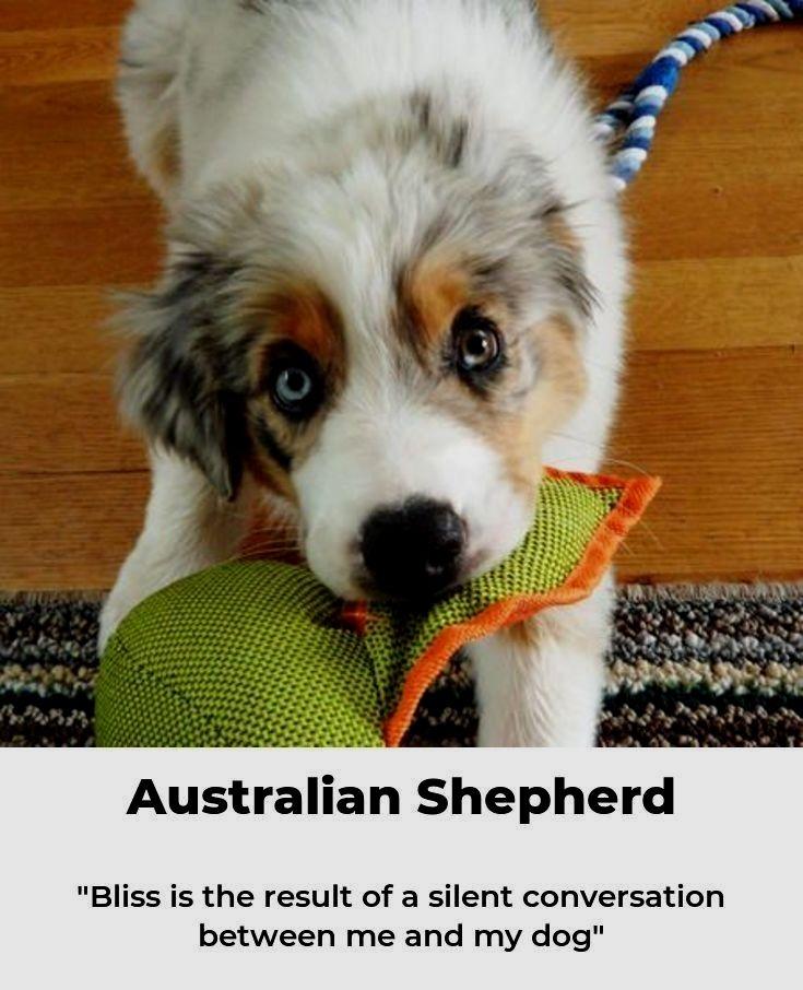 Pin By Dog Lover On Australian Shepherd Australian Shepherd