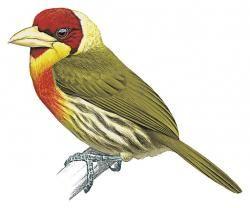 Flame-throated Barbet (Eubucco aurantiicollis) (Formerly included in Eubucco richardsoni)