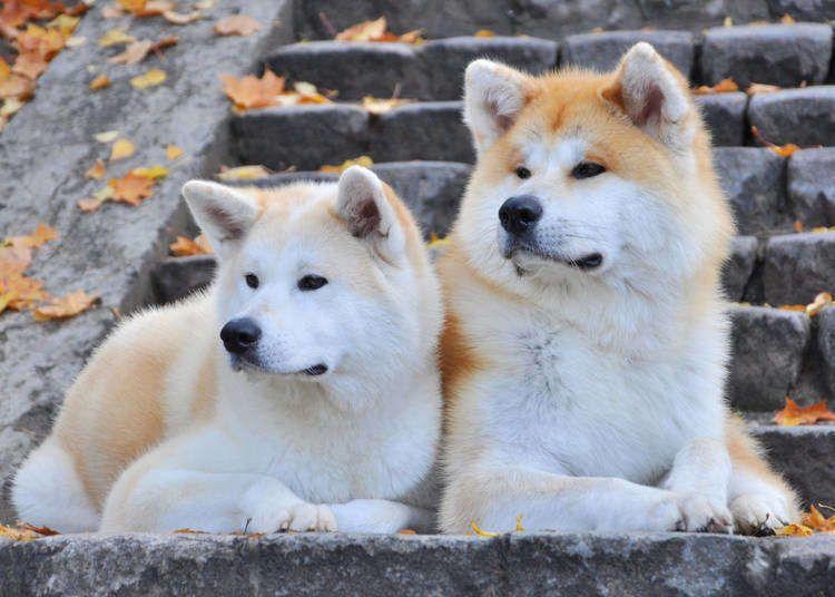 Akita Inu Facts In 2020 Akita Dog Akita Japanese Akita
