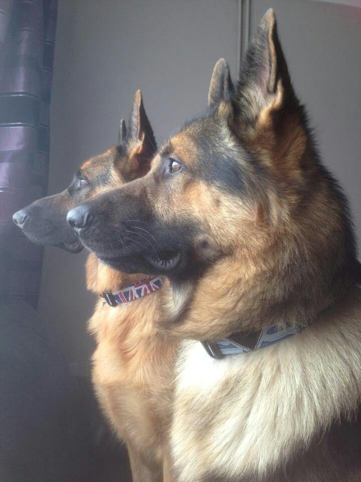 Beloved German Shepherd Dogs Just Fabulous Never Get Tired Of