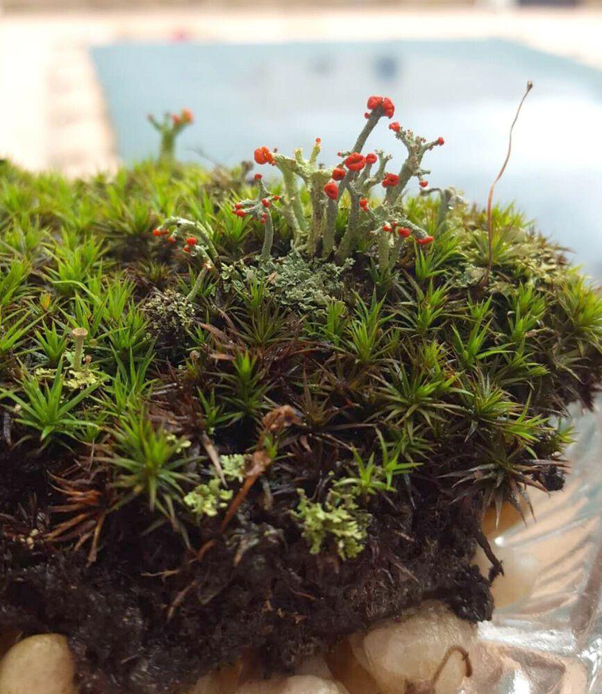 Large Pc 5 5 X 4 Live British Soldier Lichen Star Moss Cladonia Lichens Moss Aquascape British Soldier