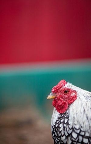 i <3 our pseudo chickens