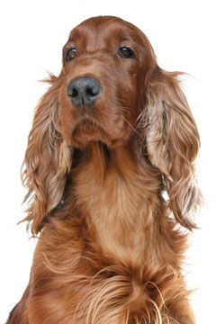 Pin By Mel On Setters With Images Irish Setter Dogs Irish Setter