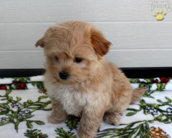 Nike Maltipoo Puppy For Sale In Sprakers Ny Lancaster Puppies