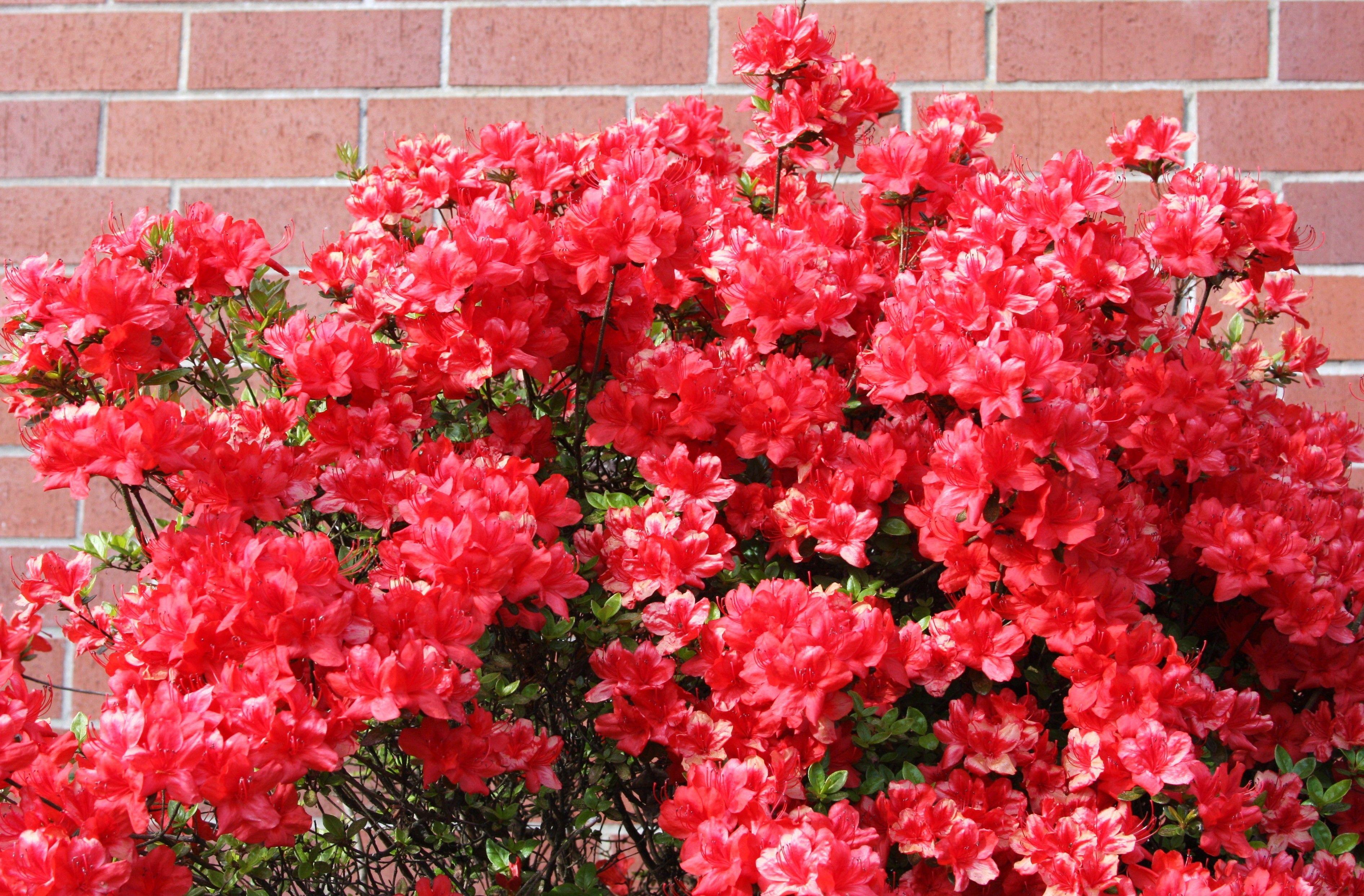 Azalea Vancouver Wa 04 2013 Azaleas Flowers Plants