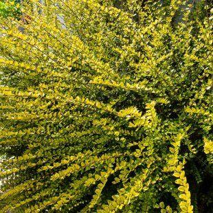 Golden Shrubby Honeysuckle Hedge