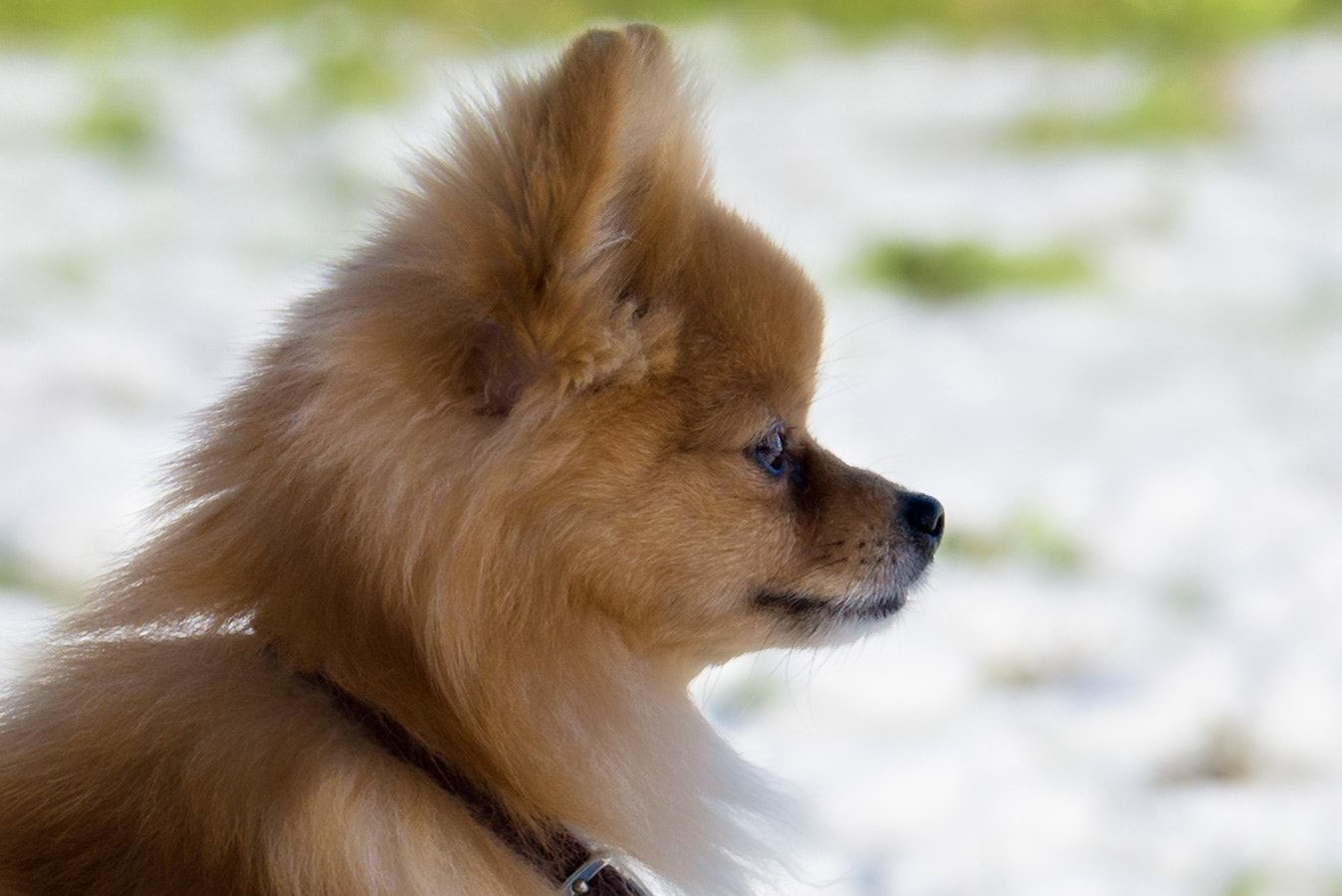 Bee Portrait Bee The Pom Chi Strikes A Pose Dog Photography