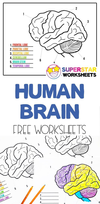 Download Human Brain Worksheets in 2020   Human brain, The brain ...